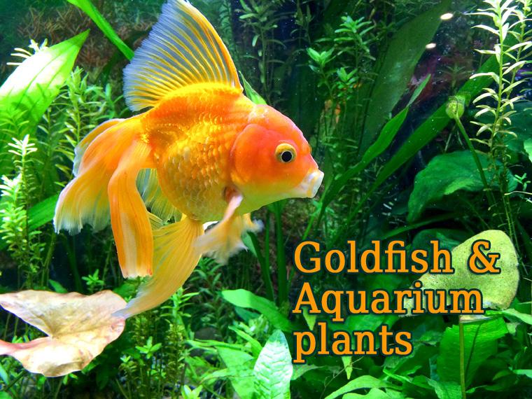 goldfish and aquarium plants